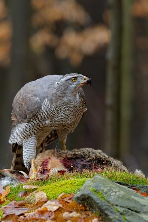 goshawk: Bird of Prey Goshawk, Accipiter gentilis, feeding kill hare in the forest