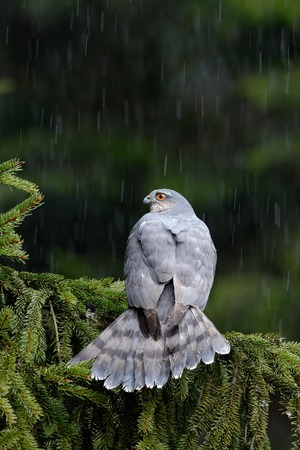 sparrowhawk: Birds of prey Eurasian sparrowhawk, Accipiter nisus, sitting on spruce tree during heavy rain in the forest