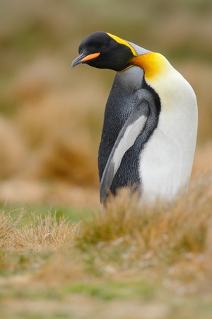 King penguin, Aptenodytes patagonicus sitting in grass with tilted head, Falkland Islands Stock Photo