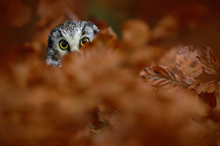 boreal: Portrait of Boreal Owl with yellow eyes in orange oak tree during autumn