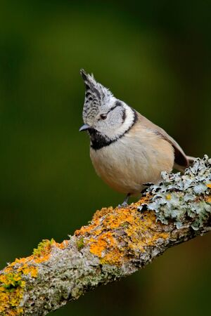 greem: Songbird Crested Tit sitting on beautiful yellow lichen branch with clear green background