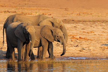 chobe national park: African elephants drinking at a waterhole lifting their trunks, Chobe National park, Botswana, Africa