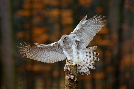 goshawk: Flying bird of prey Goshawk with blurred orange autumn tree forest in the background, landing on tree trunk