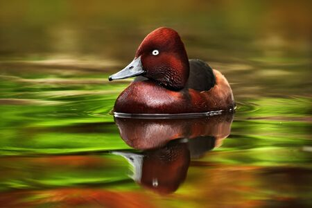 chestnut male: Female of brown Ruddy Duck, Oxyura jamaicensis, with beautiful green and red coloured water surface