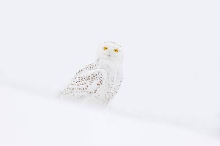 Schnee-Eule, Nyctea scandiaca, seltener Vogel sitzen auf dem Schnee, Winter-Szene mit Schneeflocken im Wind. Standard-Bild