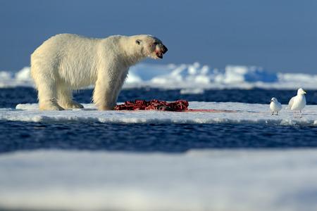 Big polar bear on drift ice with snow feeding kill seal, skeleton and blood, Svalbard, Norway