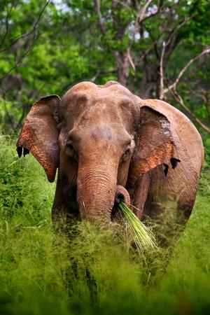 packer: Asian Elephant Elephas maximus maximus, with green grass in the trunk, big mammal habitat in the nature, Yala National packer, Sri Lanka