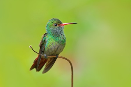 Hummingbird Rufous-tailed Hummingbird, Amazilia tzacat, with clear green background, Colombia