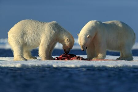 hunted: Couple of polar bears tearing hunted bloody seal skeleton in Arctic Svalbard