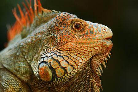 lizzard: Portrait of orange iguana in the dark green forest, Costa Rica