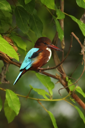 brawn: White-throated Kingfisher, Halcyon smyrnensis, exotic brawn and blue bird sitting on the branch, nature habita, , Thailand, Asia
