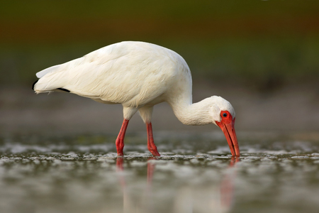 curved leg: White Ibis, Eudocimus albus, white bird with red bill in the water, feeding food in the lake, Florida, USA