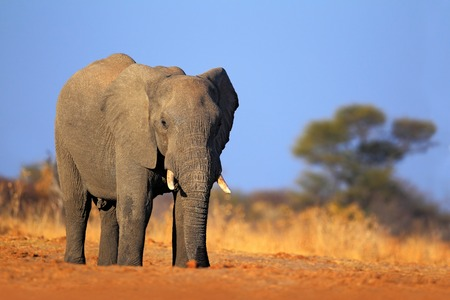 alf: Big African Elephant, on the gravel roaad, with blue sky, Chobe National Park, Botswana Stock Photo