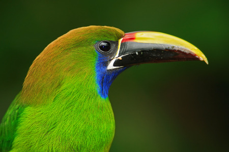 Blue-throated Toucanet, Aulacorhynchus prasinus, detail portrait of green toucan bird in the nature habitat, Costa Rica