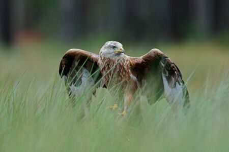 Bird of prey Red kite, Milvus milvus, landing in the green marsh grass, with open wingspan, forest in the background