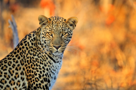 アフリカのヒョウ、パンテーラ pardus shortidgei、ワンゲ国立公園、ジンバブエ、肖像画肖像画素敵なオレンジ色の背景で目に