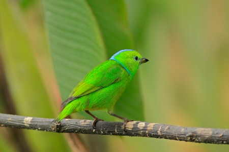 song bird: Golden-browed Chlorophonia, Chlorophonia callophrys, exotic tropic green song bird form Costa Rica Stock Photo
