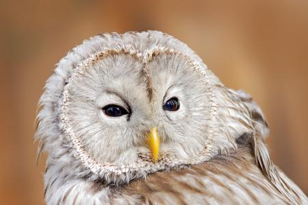 ural owl: Ural Owl, Strix uralensis, close-up portrait of big gray nocturnal bird, orange leaves oak forest in the background, Norway