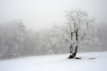 Solitary tree in winter, snowy landscape with snow and fog, foggy forest in the backgroud