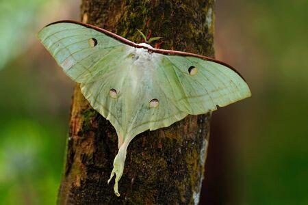 Indian Moon Moth or Indian Luna Moth, Actias selene, white butterfly, in the nature habitat, sitting on the tree trunk, Sri Lanka Stock Photo
