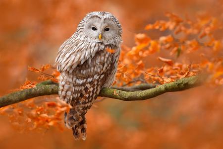 フクロウ、小田切、オレンジ色で、木の枝の上に座って葉オークの森、スウェーデン