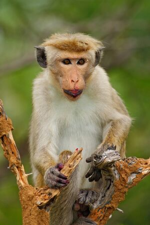 toque: Toque macaque, Macaca sinica, monkey with fruit in the mouth, nature habitat, Sri Lanka