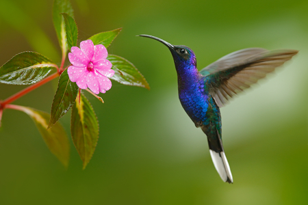 Violet Hummingbird Sabrewing flying next to beautiful pink flower