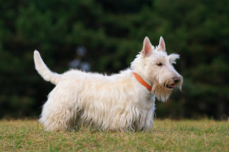 White wheaten scottish terrier, cute dog on green grass lawn