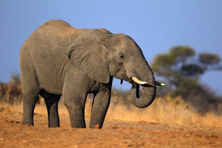 chobe national park: African Elephant, Chobe National Park, Botswana