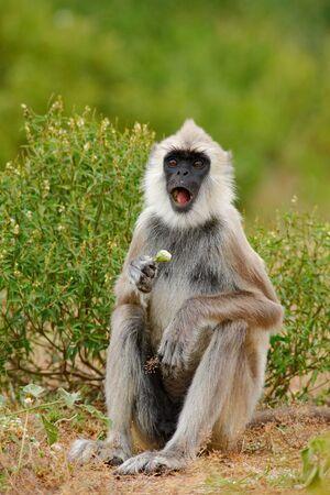semnopithecus: Common Langur, Semnopithecus entellus, monkey with fruit in the mouth, nature habitat, Sri Lanka
