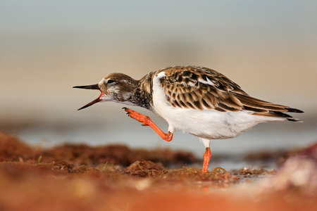sea bird: Ruddy Turnstone, Arenaria interpres, in the water, with open bill, Florida, USA Stock Photo