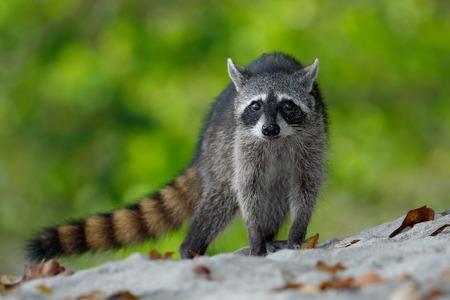 omnivore animal: The Raccoon, Procyon lotor, walking on white sand beach in National Park Manuel Antonio, Costa Rica