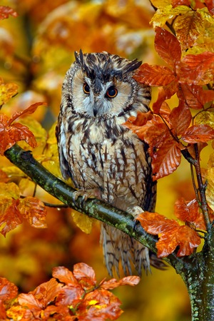 Long-eared Owl with orange oak leaves during autumn