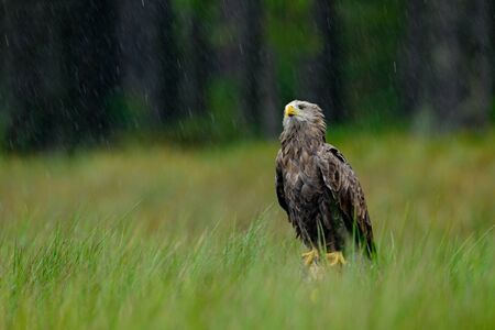 quagmire: White-tailed Eagle, Haliaeetus albicilla, heavy rain, sitting in the green marsh grass, forest in the background Stock Photo