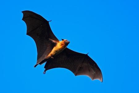 bate: Gigante indio del palo de fruta, giganteus Pteropus, en el cielo azul claro, ratón volando en el hábitat natural, Parque Nacional de Yala, Sri Lanka
