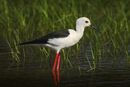 black winged stilt: Black-winged Stilt, Himanthopus himantophus, black and white bird with long red leg, in the nature habitat, water pond, India
