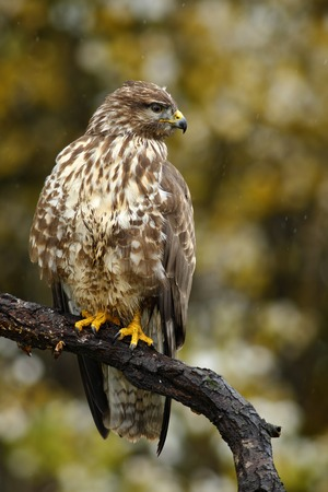 birdwatching: Birds of pray Common Buzzard, Buteo buteo, sitting on the branch with blurred autumn yellow forest in background
