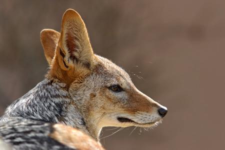 elusive: Black-Backed Jackal, Canis mesomelas mesomelas, portrait with long ears, Namibia, South Africa