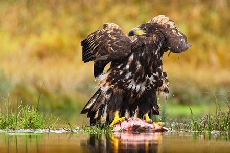 White-tailed Eagle, Haliaeetus albicilla, feeding kill fish in the water, with brown grass in background, Sweden
