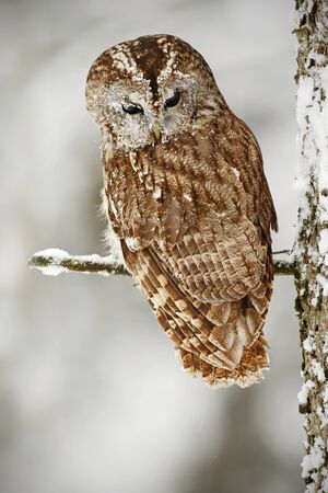 Brown bird Tawny owl sitting on tree trunk with snow during cold winter.