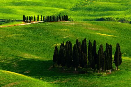 Cypress grove in the meadow. Green summer meadow landscape. Summer in the fields. Idyllic view of hilly farmland in Tuscany in beautiful morning light, Italy. Landscape in Italy.