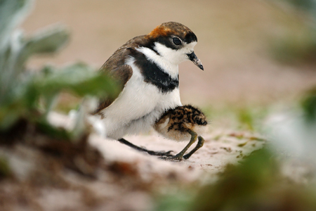 Young bird hidden in the parent. Two-banded Plover in sandy beach. Sea bird in the sand beach. Plover in the nature habitat. Little bird sitting in the nature habitat. Sea bird from Falkland Island. Stock Photo