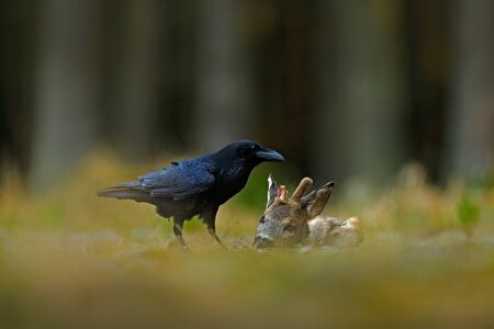 Black bird raven with dead European Roe Deer, Carcass in forest.