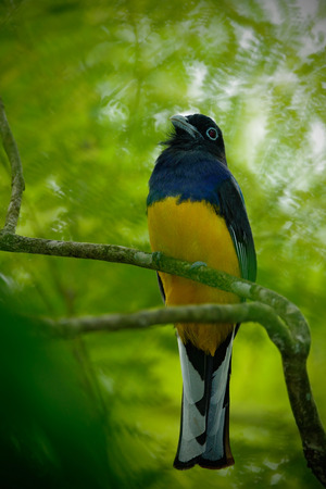 Tropic bird in the forest. Guianan Trogon, Trogon violaceus, yellow and dark blue exotic tropical bird sitting on a thin branch in the forest, Trinidad. Wildlife scene from the jungle.