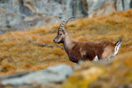 Antler Alpine Ibex, Capra ibex, scratching animal with coloured rocks in background, animal in nature habitat, France. Defecating in the grass. Wildlife action scene from the Alps. Ibex in grass. Stock Photo