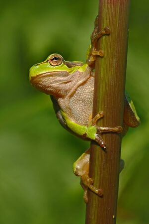 Nice green amphibian European tree frog, Hyla arborea, sitting on grass with clear green background. Beautiful amphibian in the nature water grass habitat. European tree frog in the forest.