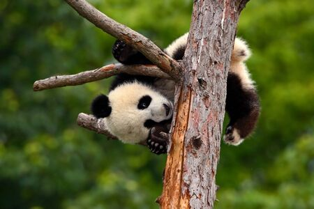 Funny Panda Bear. comic young Panda Bear on the tree. Lying cute young Giant panda eating bark of tree. Sichuan Giant Panda from China, Asia. Rare animal in the nature forest habitat. Stock Photo