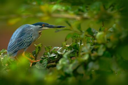 Heron sitting on the branch with river. Striated Heron, Butorides virescens, in the nature. Heron in the dark tropic forest. Heron in the nature habitat. Animal from Trinidad and Tobago.