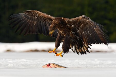 Golden Eagle with snowflake in snowy winter, snow in the forest habitat, landing on ice. Stock Photo