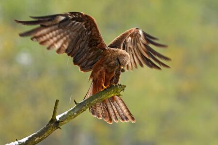 Bird of prey on the tree branch. Black Kite, Milvus migrans, brown bird sitting larch tree branch with open wing. Animal in the nature habitat. Black Kite in the forest. Action wildlife scene, Germany. Stock Photo